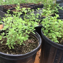 3 week old marjoram plants